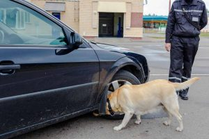 labrador canine officer checks vehicle for scent